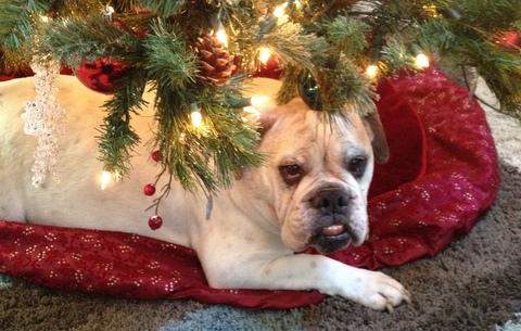 Our vicious Christmas tree guard dog.